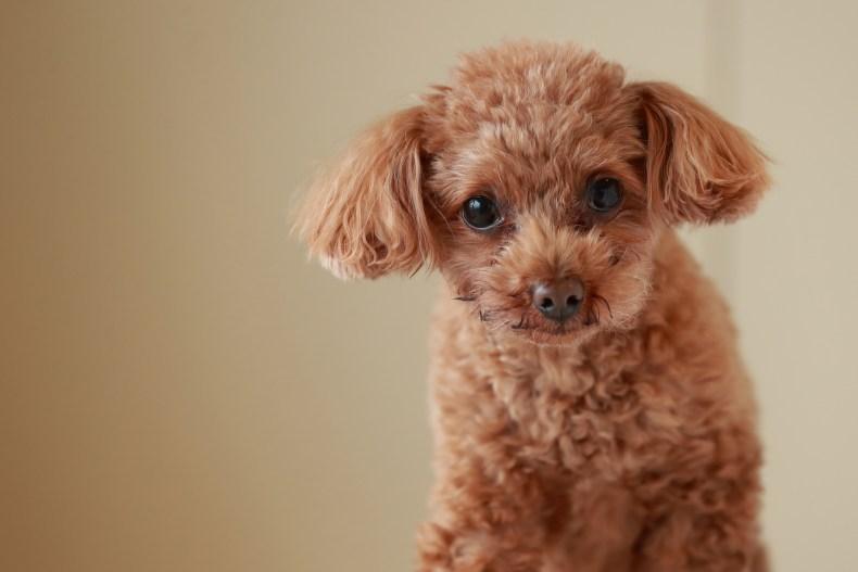 Miniature Poodle
