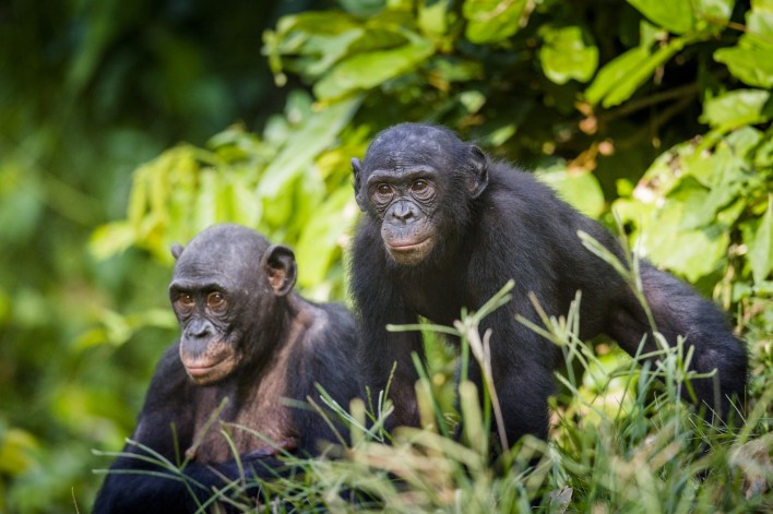 Bonobo monkey