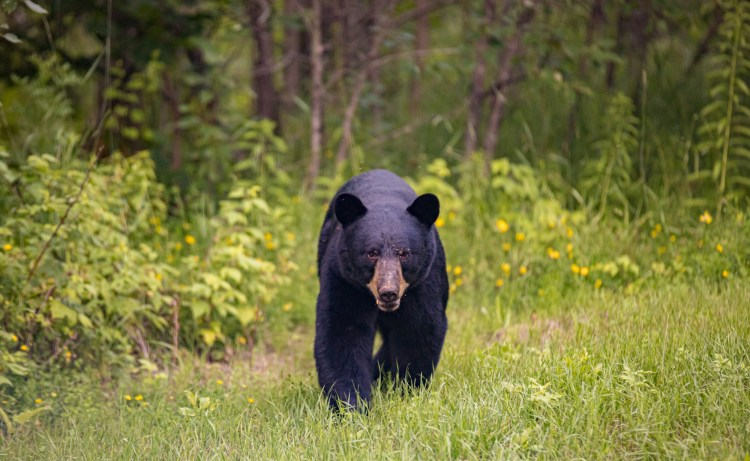 500-Pound Bear Euthanized After 125-Mile Journey Home