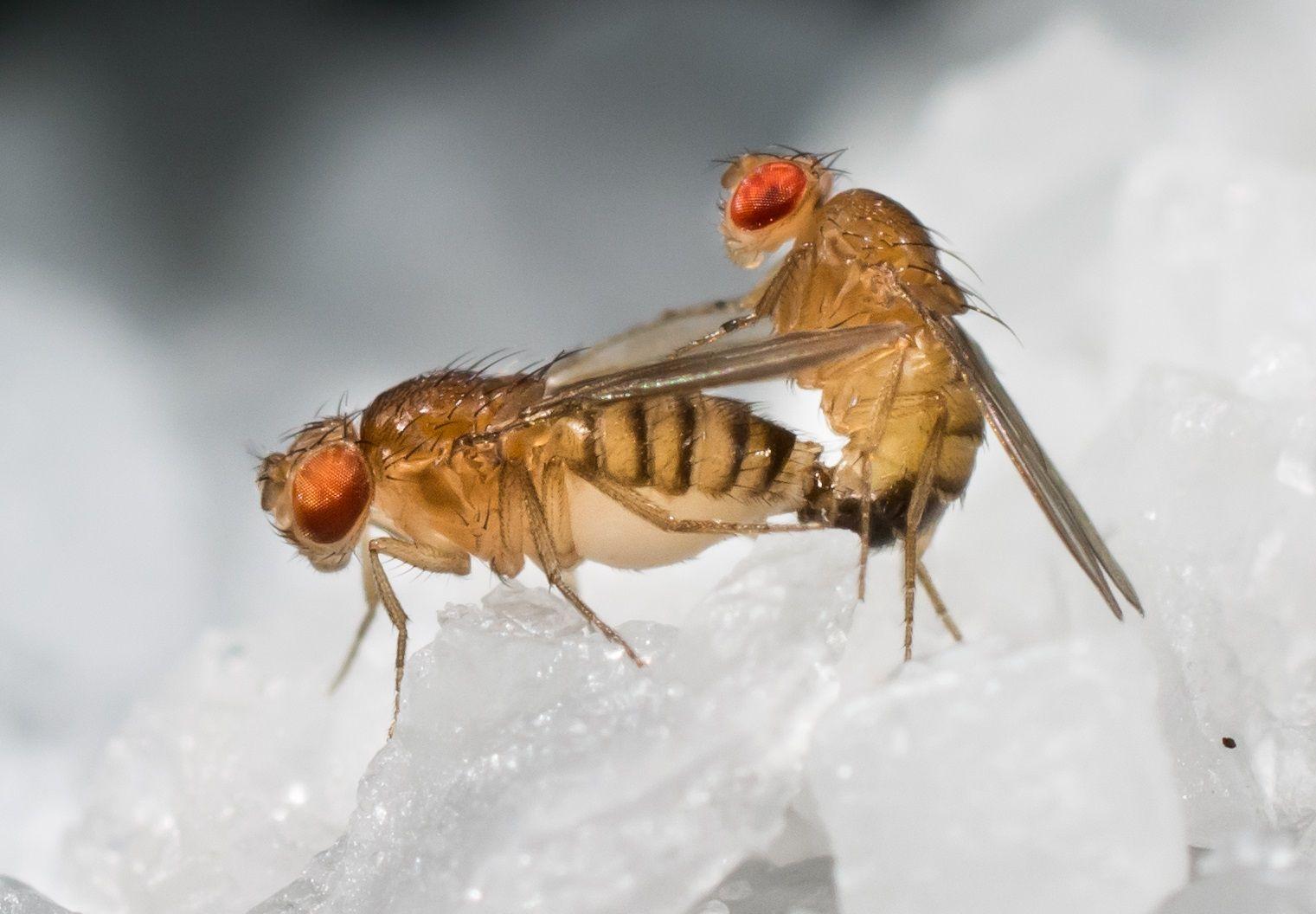 Something In Sperm Makes Female Fruit Flies Super