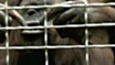 Whistling orangutan surprises zoo
