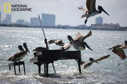 Pelicans take over a piano abandoned on a sand ...
