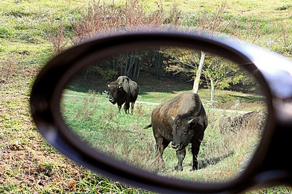 Rear View Bison