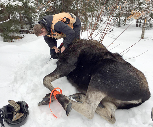 A contractor fits this moose with a GPS collar near the end of January. The moose are fitted with collars and researchers take blood, hair and stool samples to track the overall health of the moose population. (Photo by David Rivers, Native Range Capture Services)