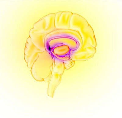 Image of the brain's reward circuit.