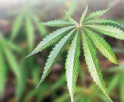 Photo of a marijuana leaf.