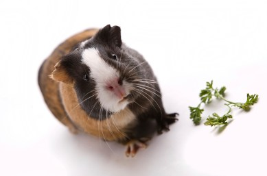 Is a Guinea Pig Right for You? | Petfinder