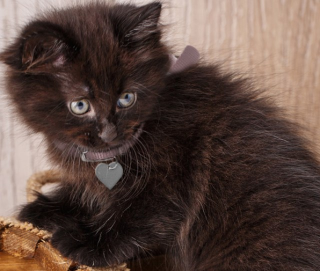 American Bobtail Black Kitten With Green Eyes Looking Behind Herself And Climbing On Top Of Small