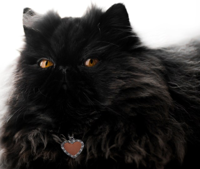Fluffy Black Persian Cat With Copper Eyes Laying Down On White Background With Front Paws