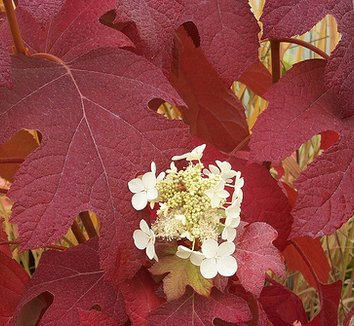 Hydrangea quercifolia 'Little Honey' 2 flower