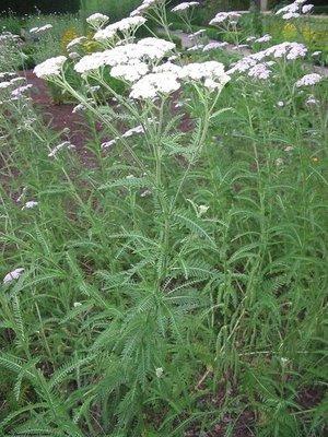 mesa blanca yarrow, native plants