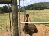 Emu behind fence at Red Stag Deer Farm