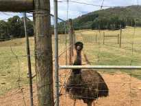 Emu behind fence at Red Stag Deer Farm