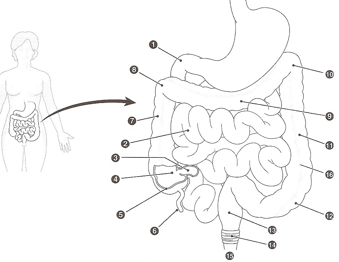 Excretory System Labeled Coloring Pages