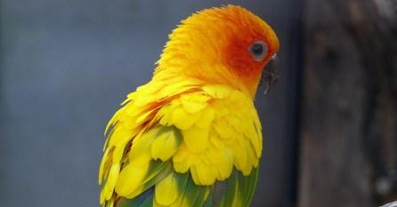 Extinct Carolina Parakeet Targeted For 'De-Extinction' With Help ...