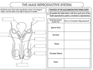 GCSE Biology Worksheet Pack: Human Reproduction by beckystoke  Teaching Resources  Tes