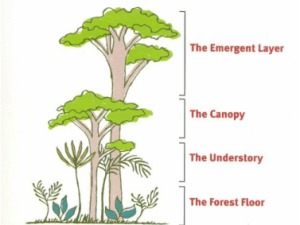 Rainforest characteristics, Layers of the rainforest by