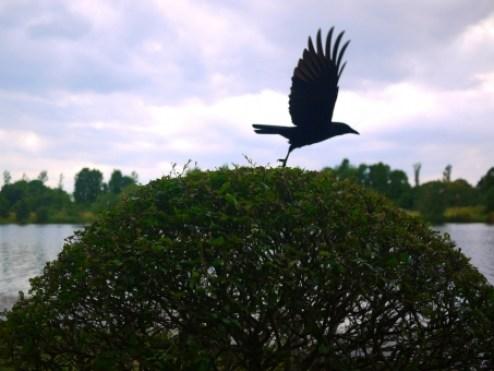 カラス 鴉 烏 鳥 公園 緑 飛翔 自然 飛び立つ 黒