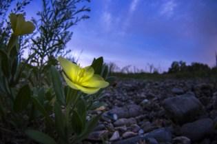月見草 花 黄色い花 夕方 夕闇 空 河原