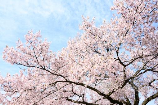 「桜の木site:irasutoya.com OR site:pakutaso.com OR site:photo-ac.com OR site:modelpiece.com OR site:busitry-photo.info OR site:model.foto.ne.jp OR site:food.foto.ne.jp OR site:free.foto.ne.jp OR site:pro.foto.ne.jp OR site:bijinsozai.com OR site:photomaterial.net OR site:ashinari.com OR site:kyotofoto.jp OR site:beiz.jp OR site:aki-fs.com OR site:kys-lab.com/photo OR site:sozai-free.com OR site:s-hoshino.com OR site:sozai-page.com OR site:sozaing.com OR site:futta.net OR site:tokyo-date.net OR site:photo.v-colors.com OR site:free.stocker.jp OR site:lovefreephoto.jp OR site:komekami.sakura.ne.jp OR site:imgstyle.info OR site:photosku.com OR site:techs.co.jp/photoshare OR site:coneta.jp/gallery OR site:smilar-image.com」の画像検索結果
