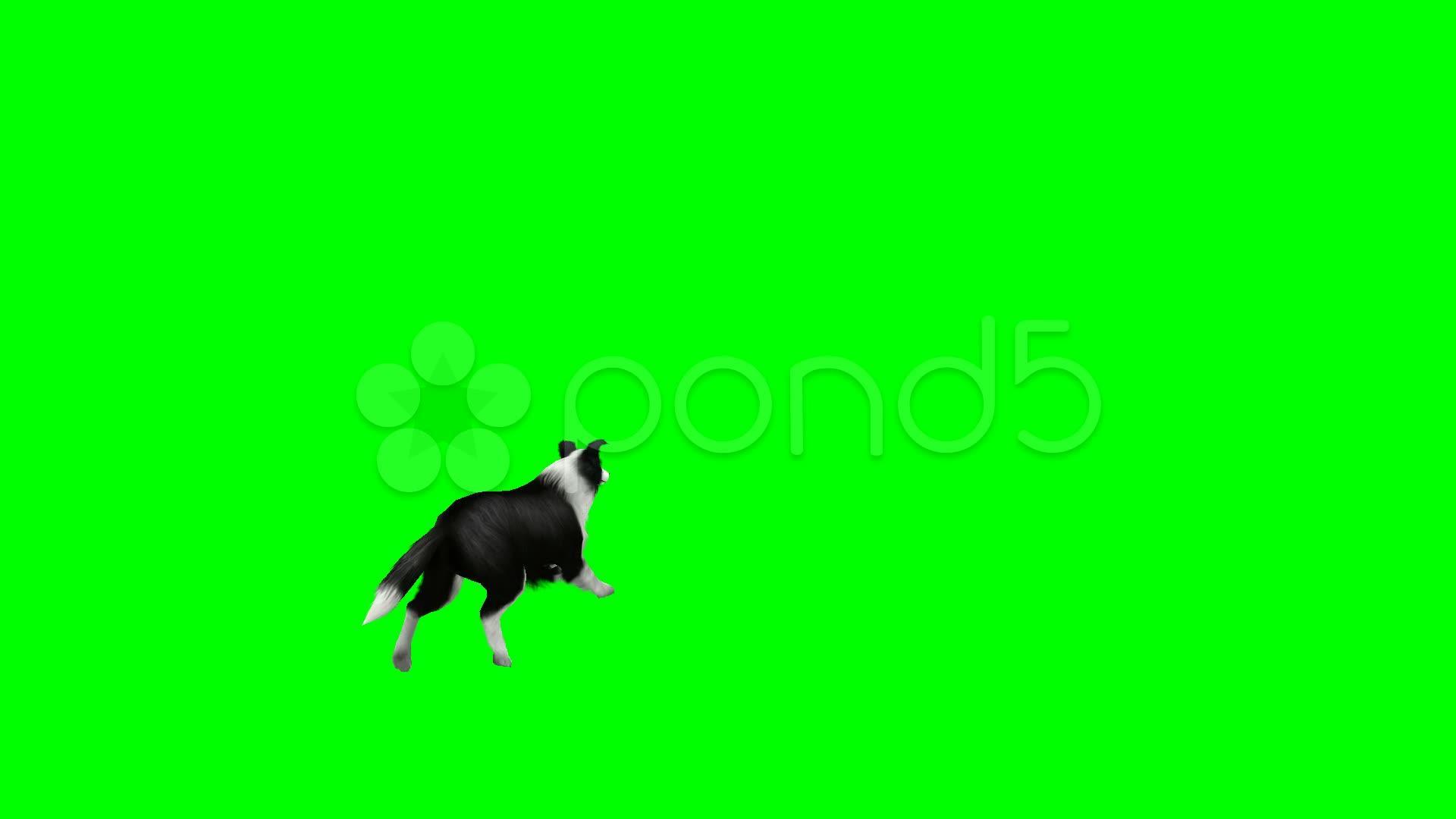 dog running away green screen stock video 12656495 hd stock footage