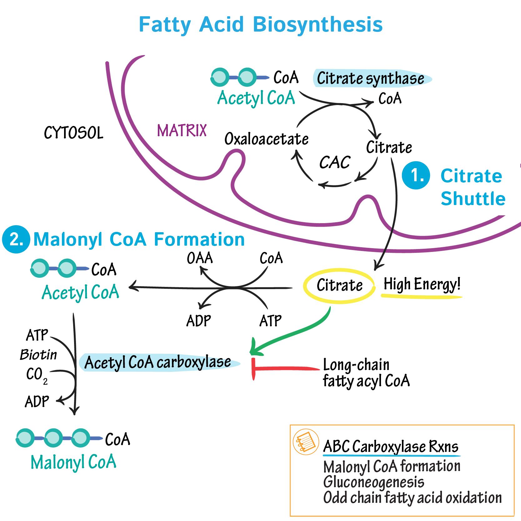 Biochemistry Glossary Fatty Acid Biosynthesis