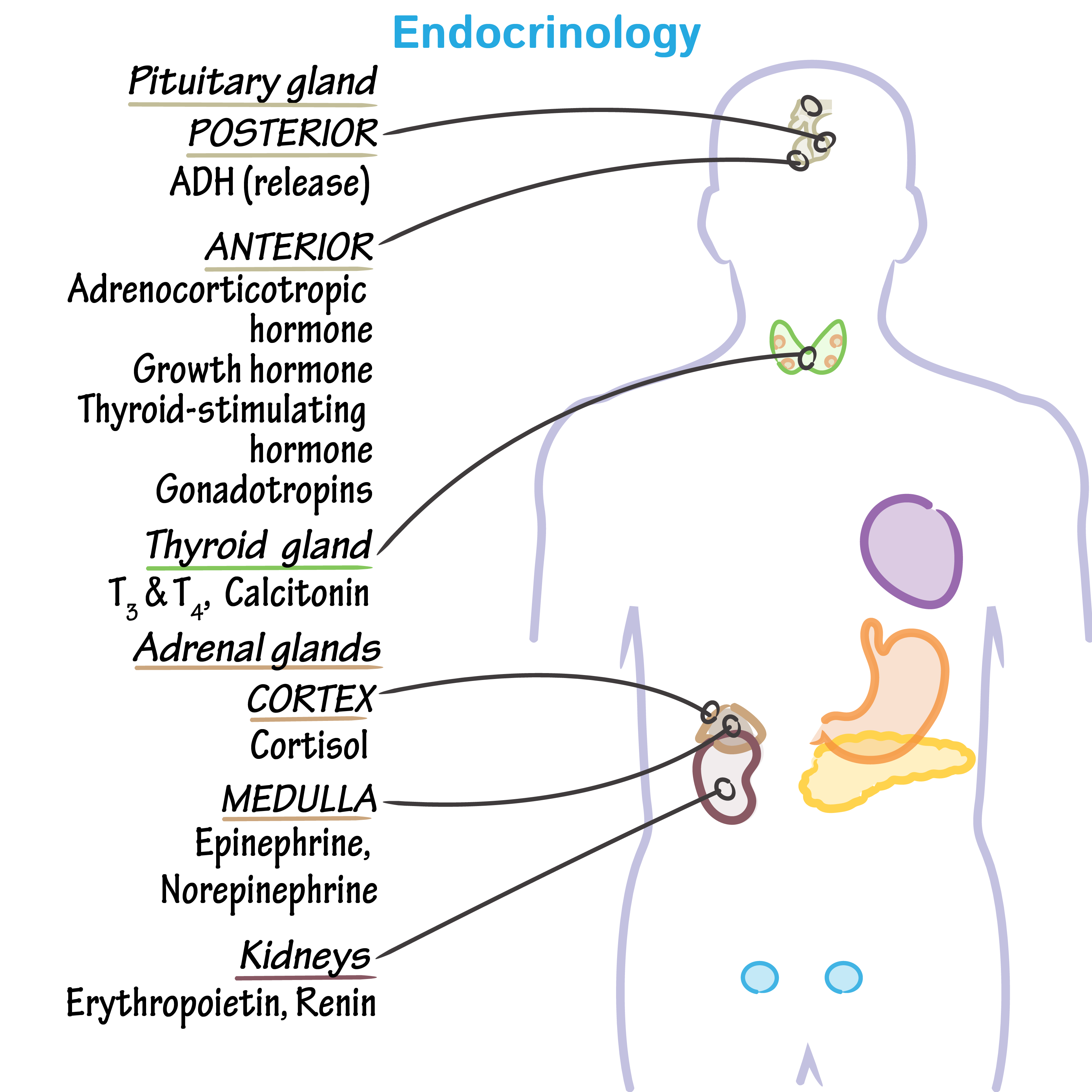 Physiology Glossary Endocrine System Overview