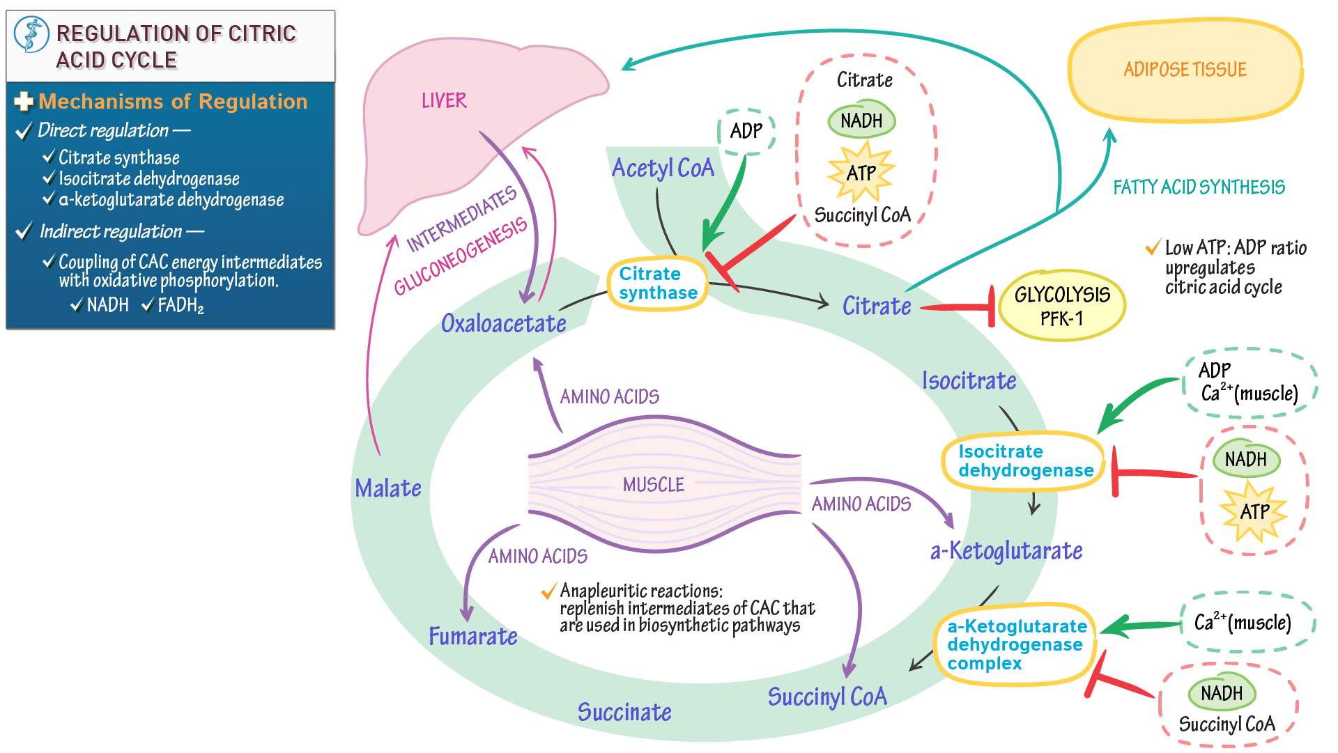 Biochemistry Regulation Of The Citric Acid Cycle
