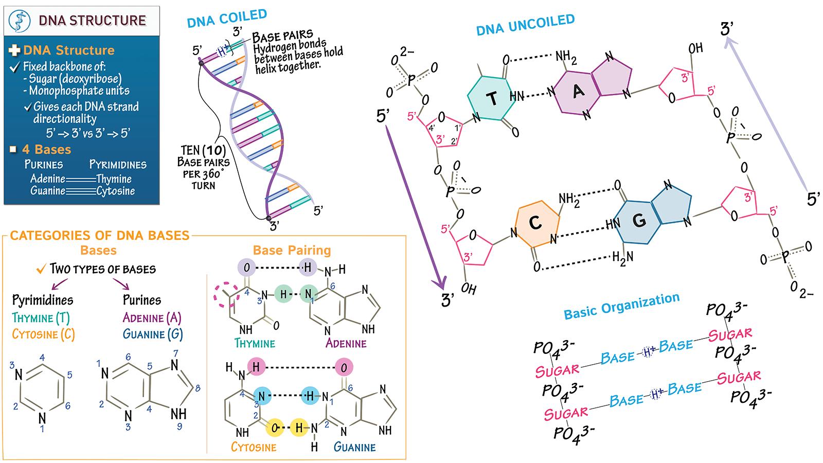 Biochemistry Fundamentals Dna Structure Amp Base Pairing
