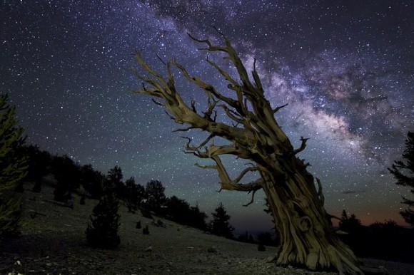 Pinos Bristlecone antiguo con un Vía Láctea aún más antigua en el fondo.  Crédito y copyright: Ken Brandon.