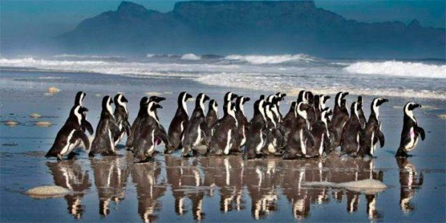Más de 60 pingüinos mueren en Sudáfrica a causa de picaduras de abeja –  Diario La Tribuna