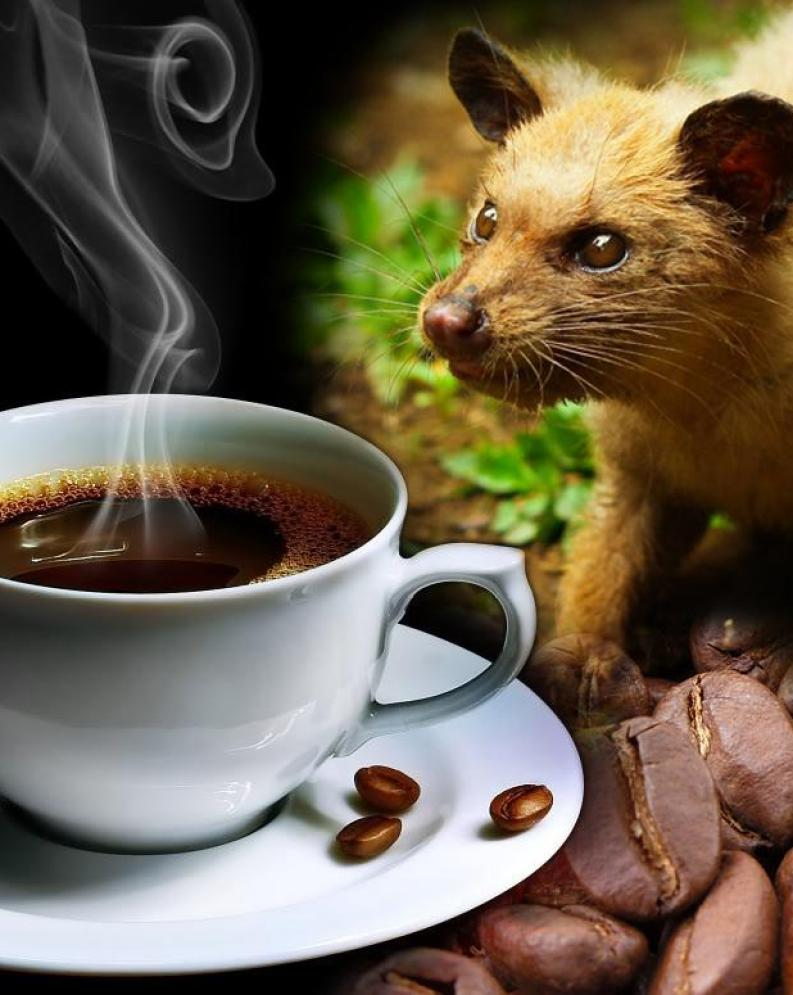 Image result for kopi luwak hd