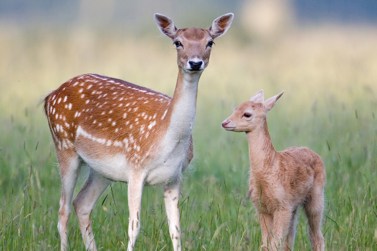 You are what you eat  Old food shortens lifespan in animals   New     Mother deer and fawn