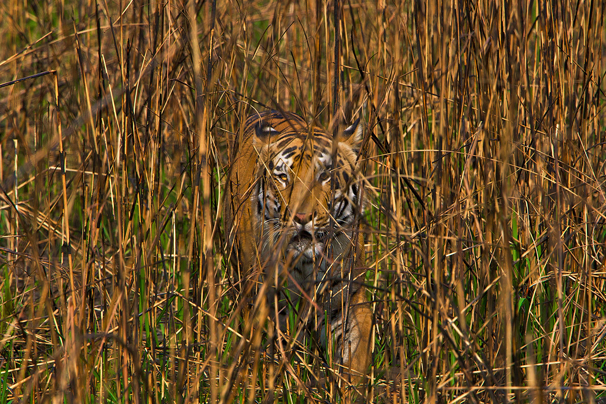 Large Carnivores Have Lost More Than 90 Per Cent Of Their