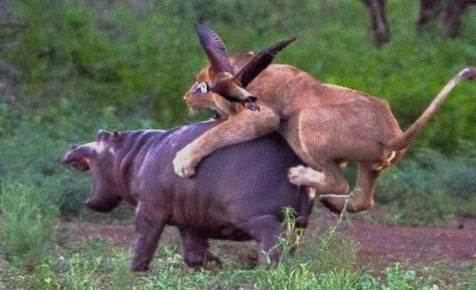 Resultado de imagen para ataque de un hipopótamo