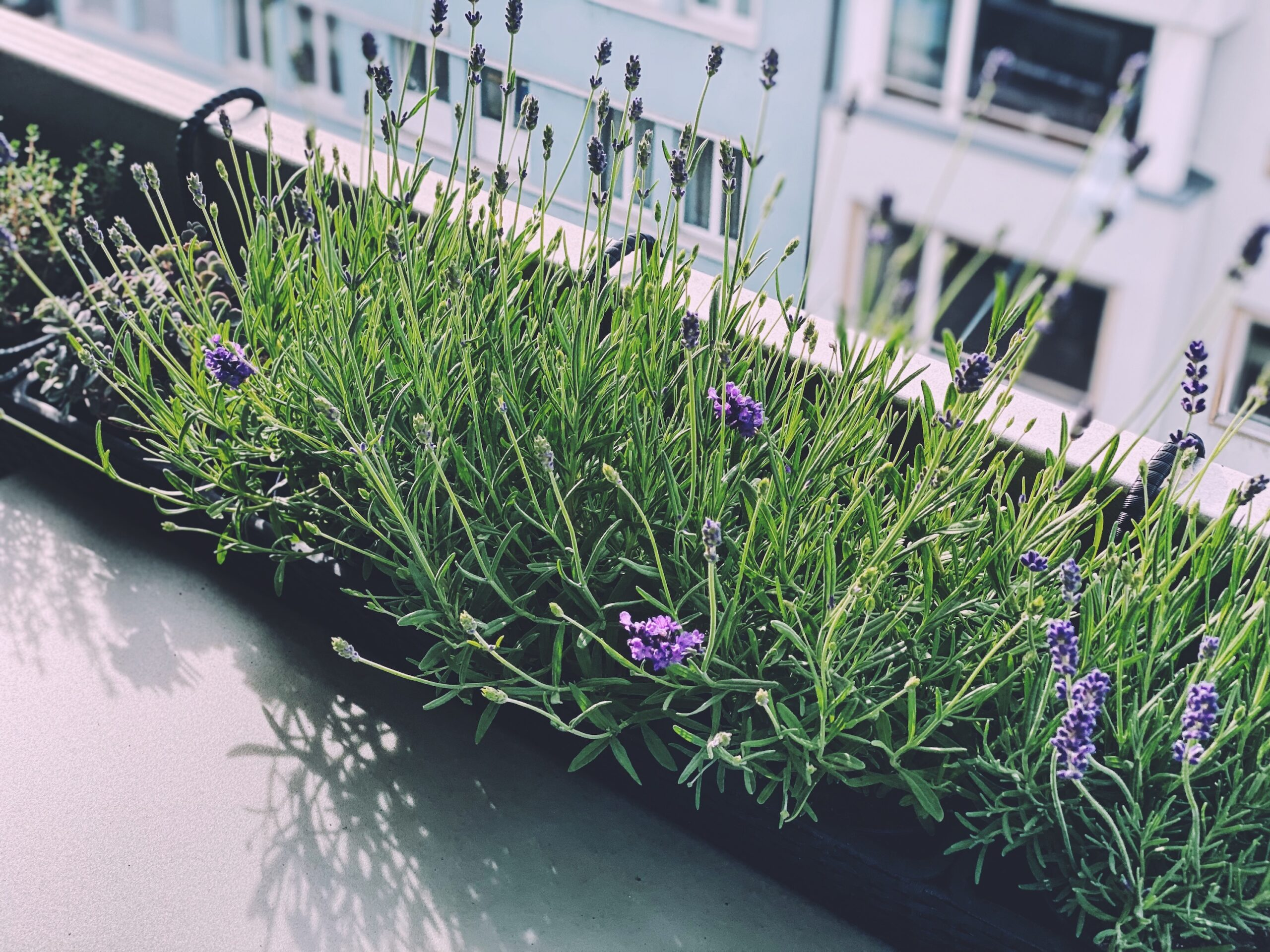Urban Garden, Lavender in the hanging planters