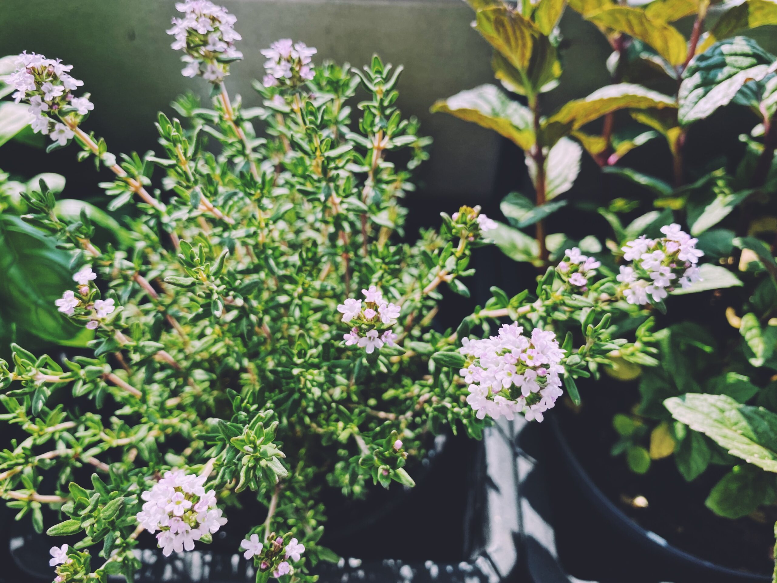 Aromatic herbs in the urban garden on the balcony