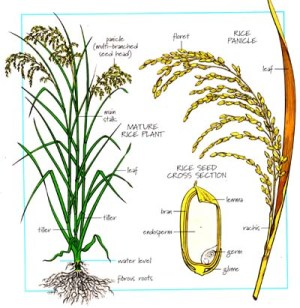 Rice plant, Rice and Plants on Pinterest