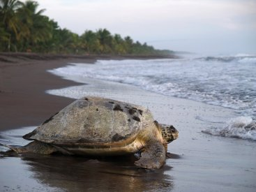 A lone leatherback sea turtle about to head into the sea.