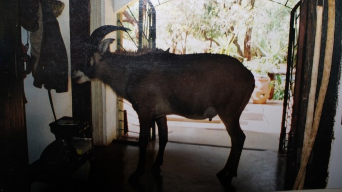The story of Easy Boy, the Roan antelope