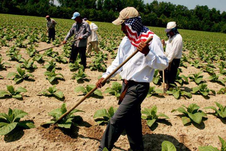 The photo portrays five migrant workers harvesting weed rows of tobacco in eastern North Carolina.