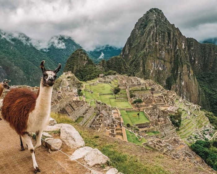 Llama in front of the Macchu Picchu in Peru