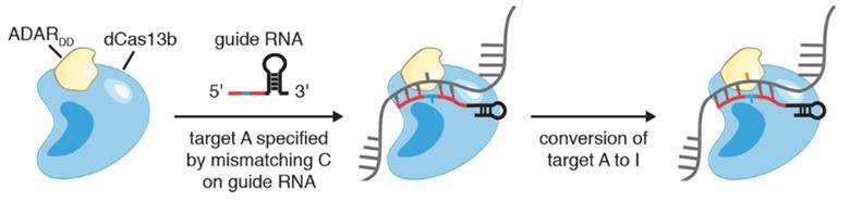 New Crispr just edits RNA - Figure 2a