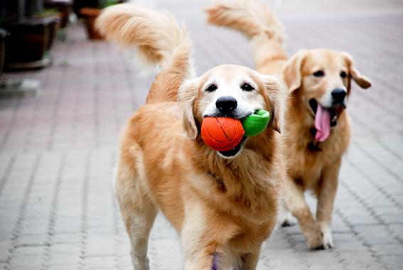 Golden Retriever: inteligente, brincalhão e leal - Blog DogHero for dog lovers