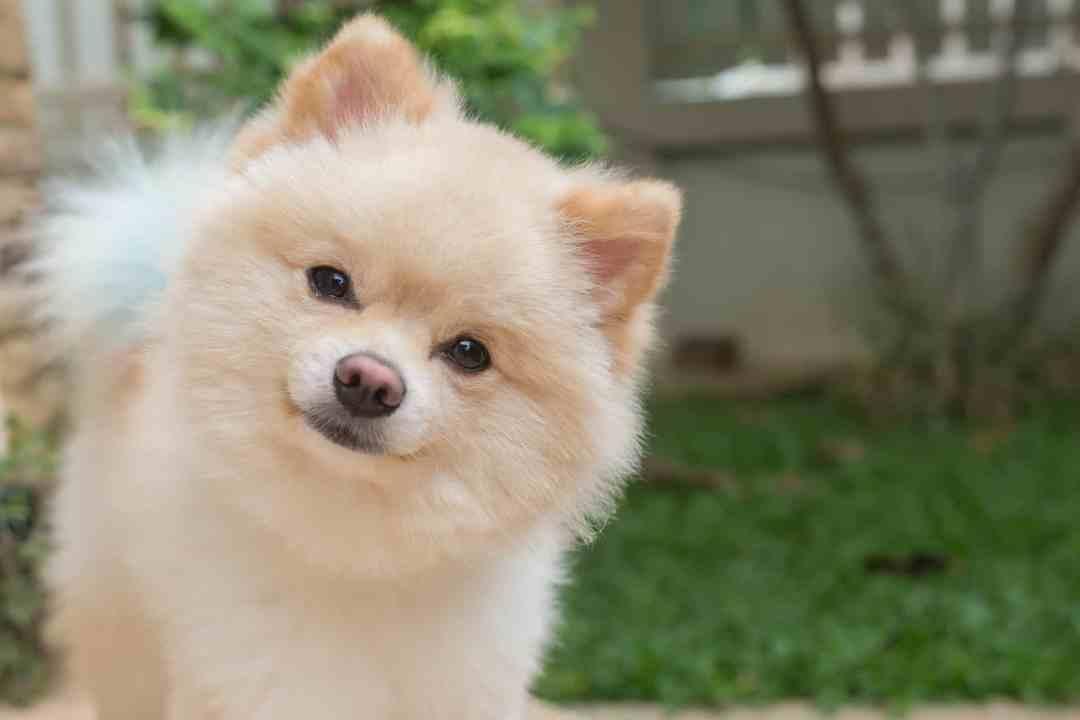 O cachorro lulu é o membro perfeito para completar sua família!