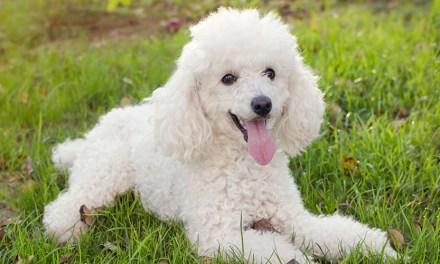 Poodle: obediente, brilhante e carinhoso
