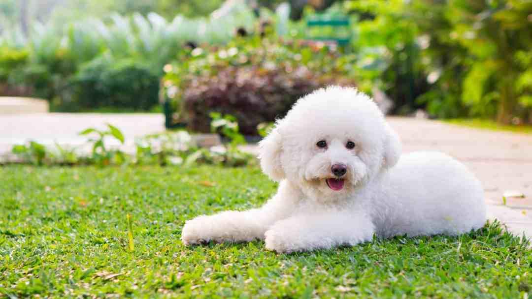 Seu pelo e rosto fofinhos o tornam um dos cachorros mais populares do mundo
