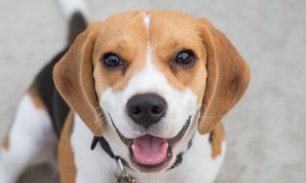 Beagle: alegre, companheiro e aventureiro