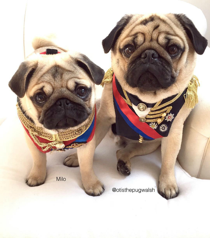 Pug Milo e Otis