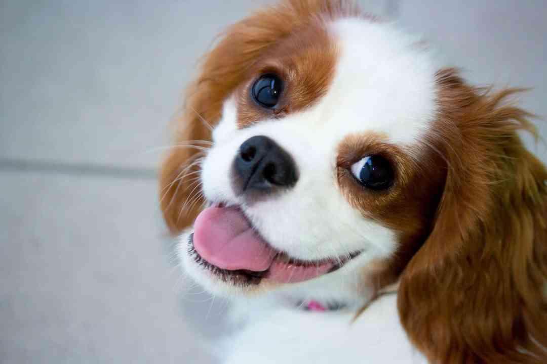 Com a dose certa de atenção, seu cavalier vai ser o cão mais calmo do mundo